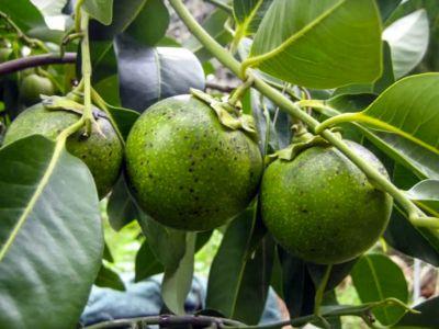 Amerikanischer Kühlschrank Wiki : Sapote negro u2013 rohkost wiki